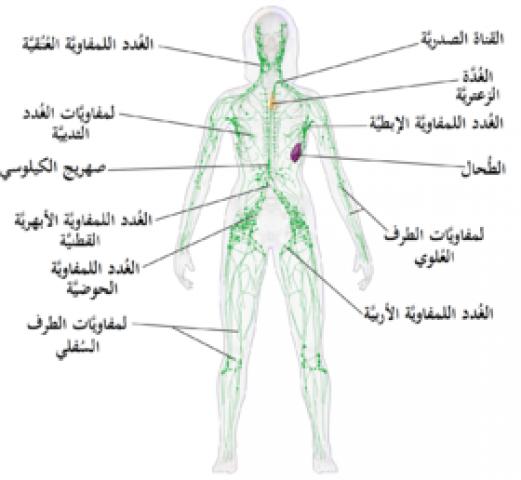 أماكن تواجد الغدد اللمفاوية في الجسم المرأة والصحة الصباح العربي