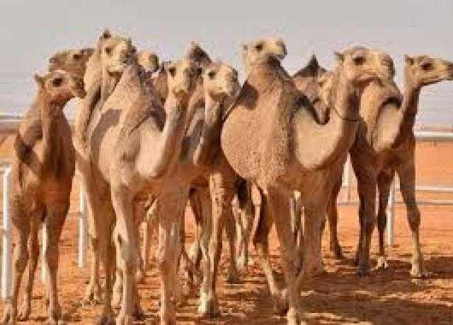 تهريب ذهب السودان داخل أرحام الإبل إلى دول الشمال