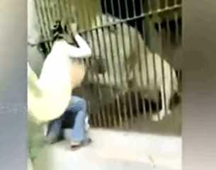 بالفيديو.. أسد ينقض على حارسه وينهش ذراعه
